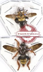 Scientific lot no. 24 Diptera (2 pcs - 1 pc A2)