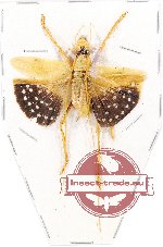 Scientific lot no. 29 Orthoptera (1 pc A2)