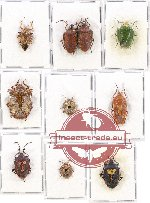 Scientific lot no. 584 Heteroptera (Pentatomidae) (10 pcs A, A-, A2)