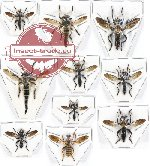Scientific lot no. 23 Diptera (Asilidae) (10 pcs - 1 pc A2)