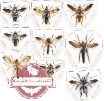 Scientific lot no. 22A Diptera (Asilidae) (9 pcs)