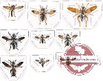 Scientific lot no. 21A Diptera (Asilidae) (9 pcs)