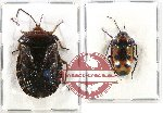 Scientific lot no. 663 Heteroptera (2 pcs A2)
