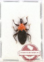 Scientific lot no. 665 Heteroptera (1 pc)