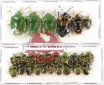 Scientific lot no. 674 Heteroptera (26 pcs)