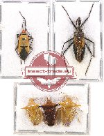 Scientific lot no. 668 Heteroptera (5 pcs A2)