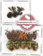 Scientific lot no. 678 Heteroptera (22 pcs)