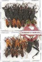 Scientific lot no. 676 Heteroptera (24 pcs A-, A2)
