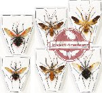Scientific lot no. 666 Heteroptera (6 pcs A, A-, A2 SPREAD)