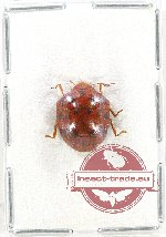 Scientific lot no. 654 Heteroptera (1 pc A2)