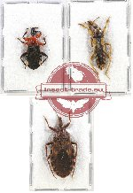 Scientific lot no. 661 Heteroptera (3 pcs A2)
