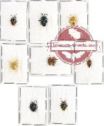Scientific lot no. 650 Heteroptera (Pentatomidae) (9 pcs)