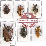 Scientific lot no. 653 Heteroptera (Pentatomidae) (6 pcs A, A-, A2)