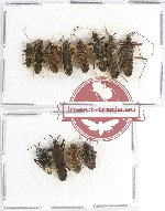 Scientific lot no. 659 Heteroptera (12 pcs)