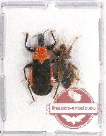 Scientific lot no. 673 Heteroptera (2 pcs)