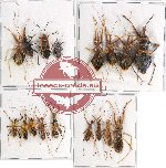 Scientific lot no. 662 Heteroptera (17 pcs A, A-, A2)