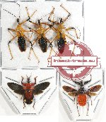 Scientific lot no. 667 Heteroptera (5 pcs A, A-, A2)