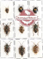 Scientific lot no. 650AA Heteroptera (Pentatomidae) (9 pcs A, A-, A2)
