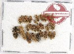 Scientific lot no. 658AB Heteroptera (27 pcs)