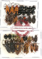 Scientific lot no. 677 Heteroptera (32 pcs A-, A2)