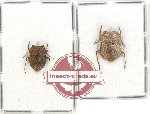 Scientific lot no. 652 Heteroptera (2 pcs)