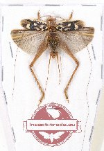 Scientific lot no. 31 Orthoptera (1 pc A2)