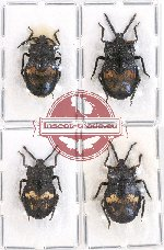 Scientific lot no. 669 Heteroptera (4 pcs - 1 pc A-)