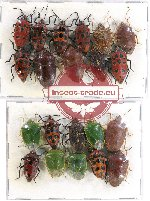 Scientific lot no. 675 Heteroptera (21 pcs A-, A2)