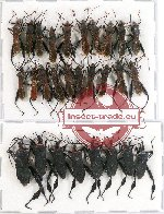 Scientific lot no. 671 Heteroptera (Coreidae) (28 pcs A-, A2)