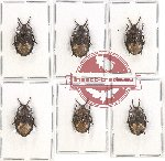 Scientific lot no. 670 Heteroptera (6 pcs)