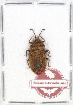 Scientific lot no. 655 Heteroptera (1 pc)
