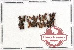 Scientific lot no. 115 Staphylinidae (23 pcs)
