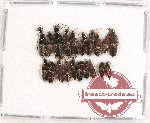 Scientific lot no. 116 Staphylinidae (20 pcs)