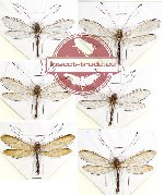 Scientific lot no. 5 Neuroptera (Ascalaphidae) (6 pcs)