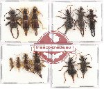Scientific lot no. 72 Dermaptera (12 pcs - 5 pcs A2)