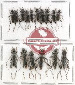 Scientific lot no. 182 Cerambycidae (16 pcs)