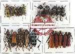 Scientific lot no. 136 Cerambycidae (20 pcs - 10 pcs A2)
