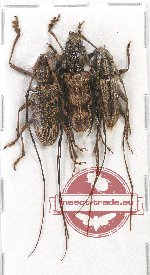 Scientific lot no. 131 Cerambycidae (3 pcs A2)
