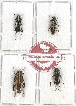 Scientific lot no. 189 Cerambycidae (Glenea spp.) (4 pcs - 2 pcs A2)