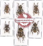 Scientific lot no. 140 Cerambycidae (6 pcs - 3 pcs A2)