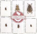 Scientific lot no. 130 Cerambycidae (6 pcs)