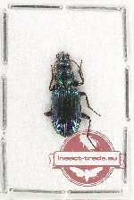 Scientific lot no. 390 Carabidae (1 pc A2)