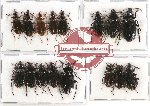 Scientific lot no. 343A Carabidae (16 pcs)