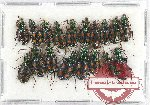 Scientific lot no. 381 Carabidae (18 pcs)