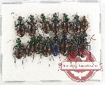Scientific lot no. 340A Carabidae (15 pcs)