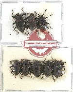 Scientific lot no. 52 Endomychidae (8 pcs)