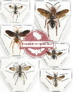 Scientific lot no. 278 Hymenoptera (6 pcs)