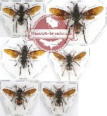 Scientific lot no. 277 Hymenoptera (Vespa spp.) (6 pcs)
