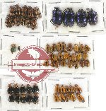 Scientific lot no. 263 Chrysomelidae (60 pcs)