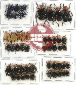 Scientific lot no. 243 Chrysomelidae (54 pcs)